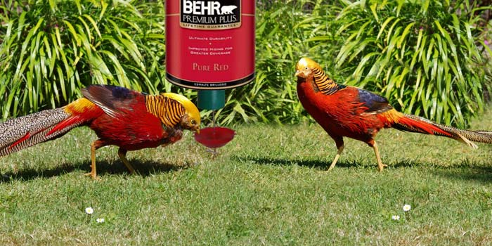 Red golden pheasant using peckomatic demand feeder