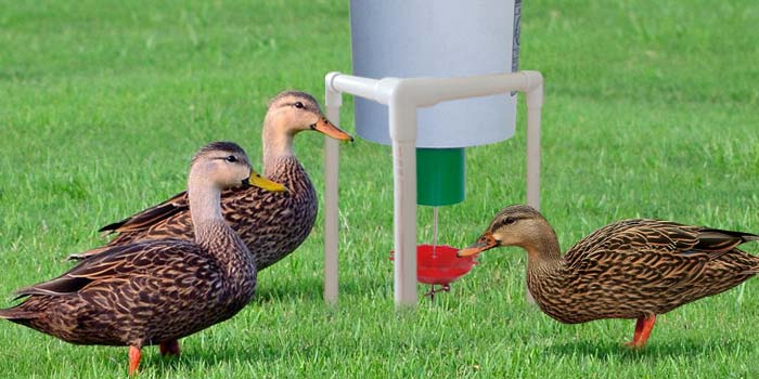 Ducks using Automatic Duck Feeder