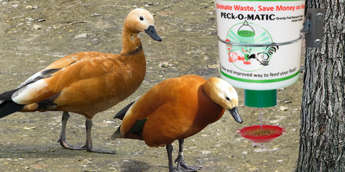 peckomatic automatic feeder for duck