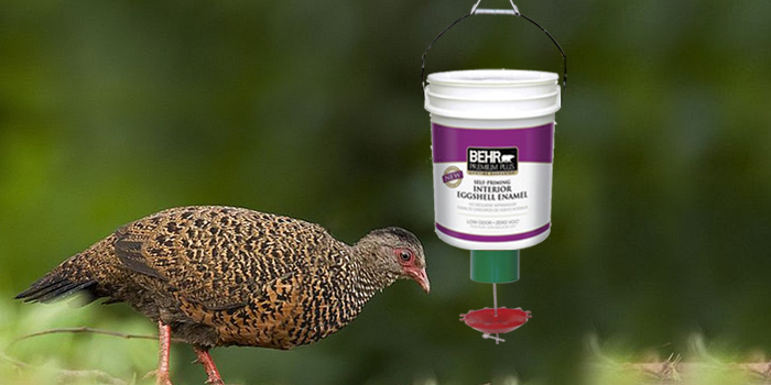 pheasant using automatic demand feeder