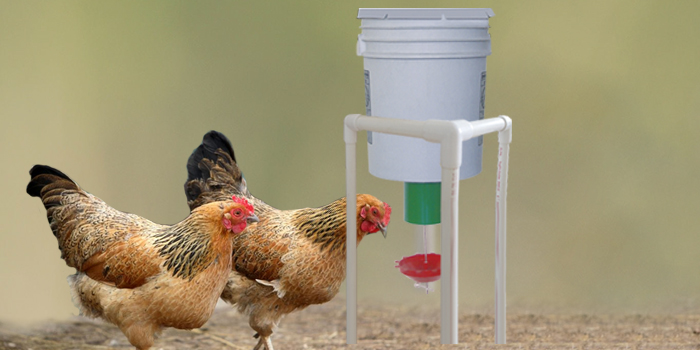 chickens using automatic demand feeder