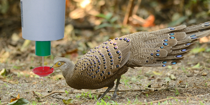 Grey peacock pheasant using automatic Pheasant feeder