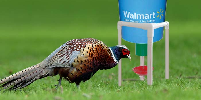 Ring neck pheasant using automatic Pheasant feeder