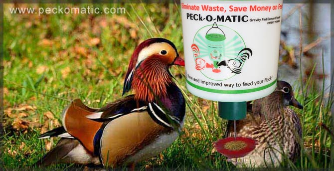 Automatic Duck feeder