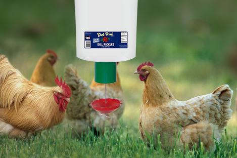 Buff Orpingtons Chicken Using Automatic Chicken Feeder