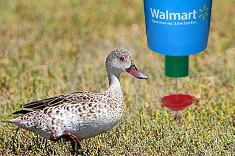 Cape Teal  Duck Using Automatic Duck Feeder