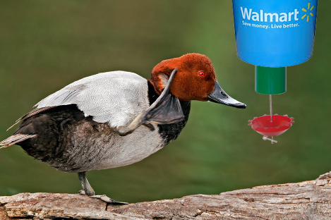 Common Pochard Duck Using Automatic Duck Feeder