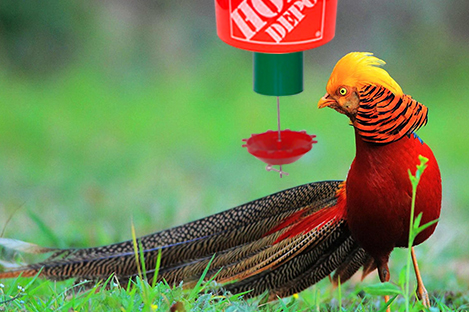 Golden Pheasant Using Automatic poultry Feeder