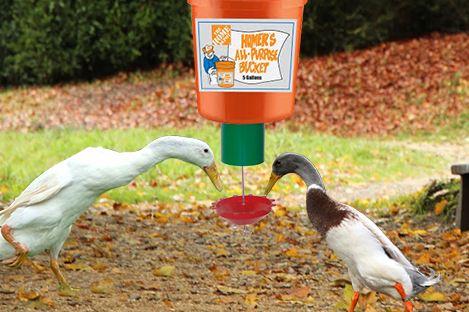 Indian Runner Duck Using Automatic Duck Feeder