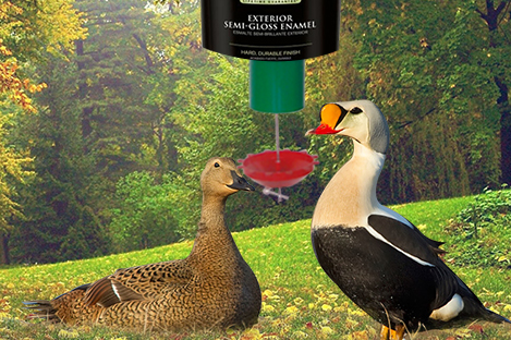 King Eider Duck Using Automatic Duck Feeder