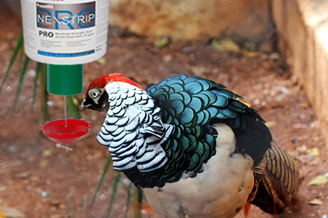 Lady Amherst Pheasant Using Automatic poultry Feeder