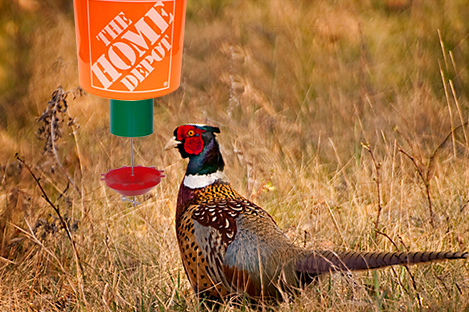 Ring Necked Pheasant Using Automatic poultry Feeder