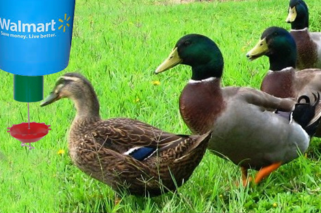 Rouen Duck Using Automatic Duck Feeder