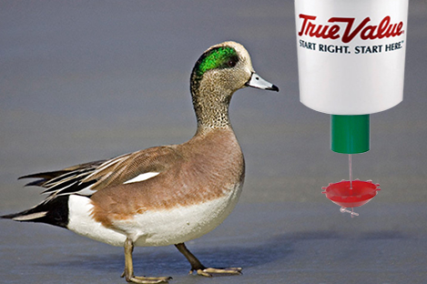 American wigeon Duck Using Automatic Duck Feeder