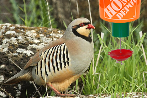 Chukar  Pheasant Using Automatic poultry Feeder