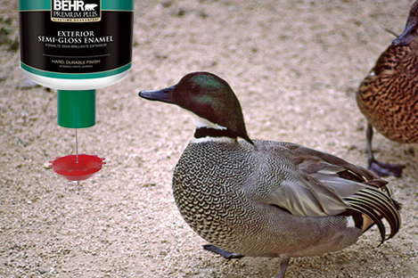 Falcated Teal Duck Using Automatic Duck Feeder