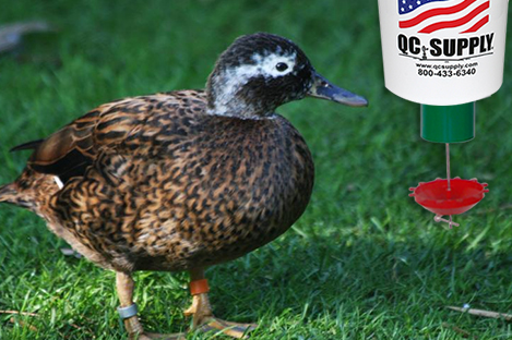 Laysan Duck Using Automatic Duck Feeder