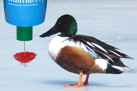 Northern Shoveler Duck Using Automatic Duck Feeder