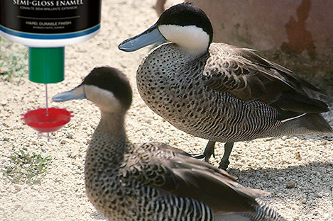 Puna Teal Duck Using Automatic Duck Feeder