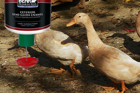 Saxony Duck Using Automatic Duck Feeder