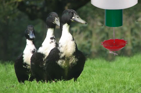 Swedish  Duck Using Automatic Duck Feeder